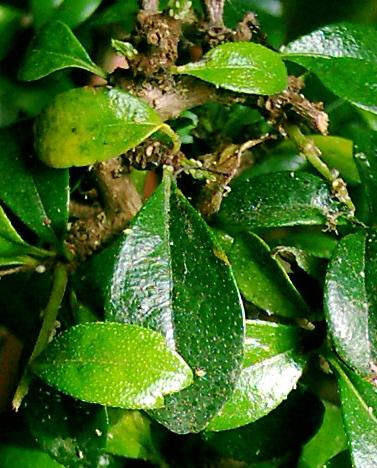 maladie yucca poudre blanche